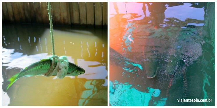 Pescar de Pirarucu Manaus Isca | Viajante Solo