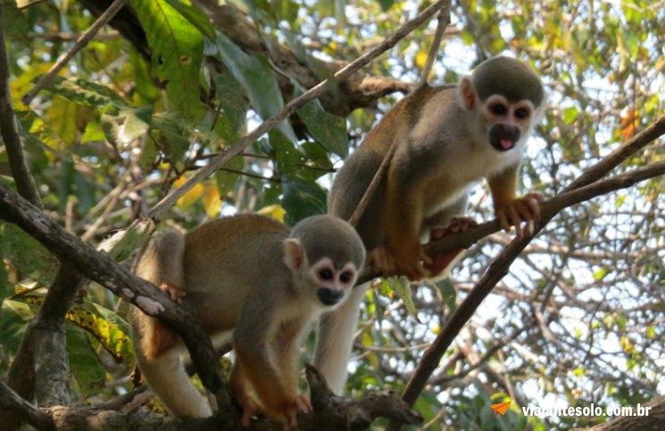Rio negro Macaco de Cheiro | Viajante Solo