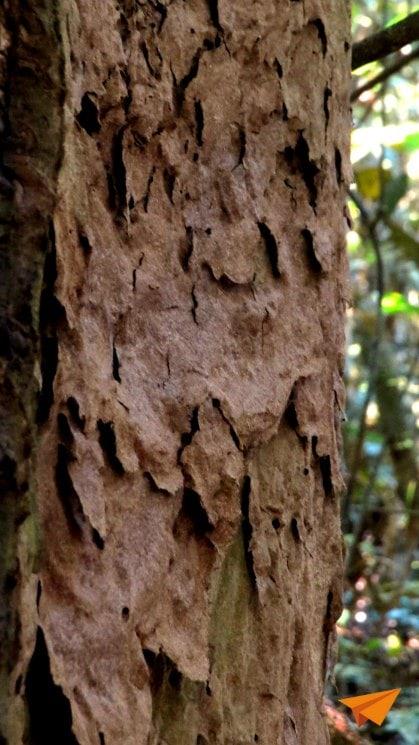 Caminhada na floresta Amazônica Arvore da Formiga Tapiba | Viajante Solo