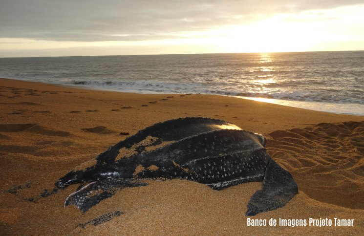 Projeto Tamar Praia do Forte Tartaruga de Couro