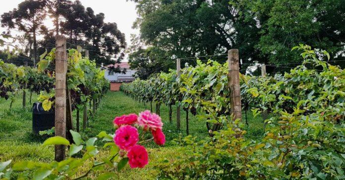 Vinícola Peterlongo: primeiro e único champagne brasileiro