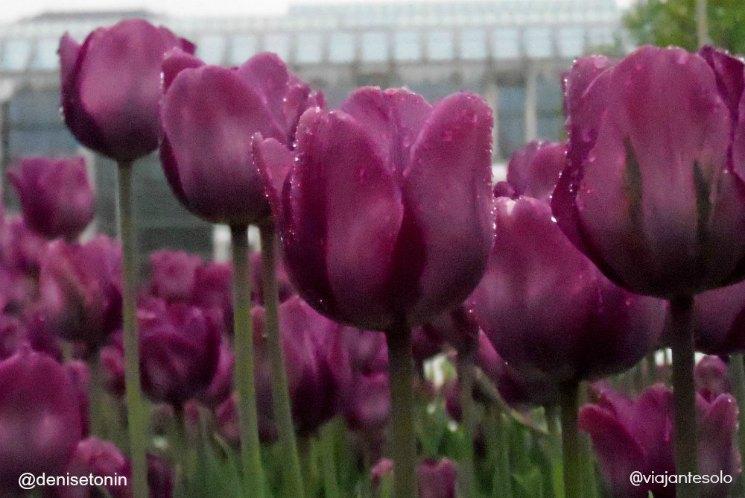 Canadian Tulip Festival Ottawa | Viajante Solo