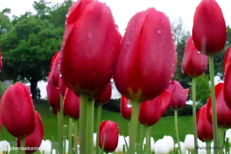 Canadian Tulip Festival | Viajante Solo