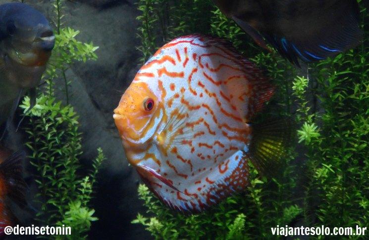 Georgia Aquarium Discus_Viajante Solo